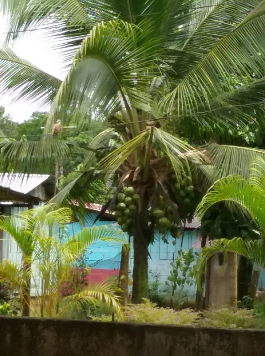 cr green coconuts